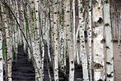 Árvores brancas Imagens de Stock