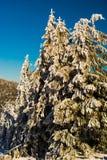Árvores brancas da neve fotografia de stock royalty free