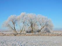 Árvores brancas no campo do inverno, Lituânia Fotos de Stock