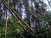 Árvores caídas Foto de Stock
