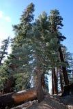 Árvores caídas Fotografia de Stock Royalty Free