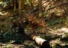 Árvores caídas após um furacão nas montanhas, conceito do curso Fotos de Stock Royalty Free