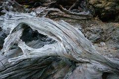 Árvores caídas inoperantes em Washington State Imagem de Stock Royalty Free