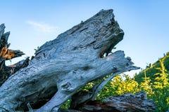 Árvores caídas inoperantes em Washington State Fotos de Stock Royalty Free