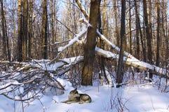 Árvores caídas, mato da floresta, animais selvagens Foto de Stock Royalty Free