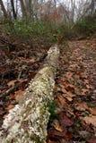 Árvores caídas na floresta Imagens de Stock Royalty Free