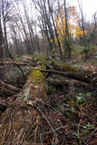 Árvores caídas na floresta Fotos de Stock