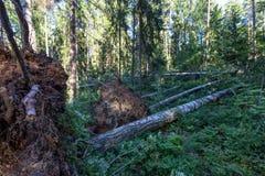 Árvores caídas na floresta após o furacão Imagens de Stock Royalty Free