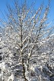 Árvores cobertas com a neve de encontro ao céu azul fotografia de stock royalty free