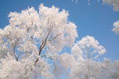 Árvores cobertas com o esmalte Fotografia de Stock