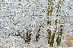 Árvores cobertas na neve Imagem de Stock Royalty Free