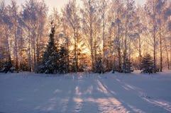 Árvores cobertos de neve à vista do sol Fotografia de Stock Royalty Free