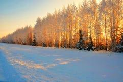 Árvores cobertos de neve à vista do sol Foto de Stock Royalty Free