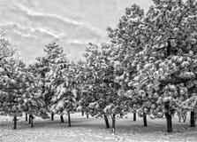 Árvores cobertos de neve Fotografia de Stock