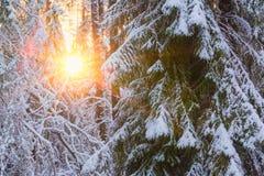 Árvores cobertos de neve na floresta e no sol da noite Foto de Stock
