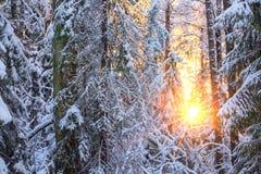 Árvores cobertos de neve na floresta e no sol da noite Fotos de Stock Royalty Free