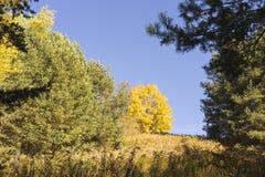 Árvores coloridas do outono na floresta alpina Fotografia de Stock Royalty Free