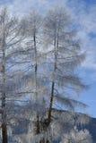 Árvores com geada Foto de Stock Royalty Free
