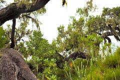 Árvores com líquene de barba e epiphytes na floresta úmida da montanha de Tanzânia fotos de stock royalty free