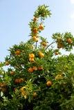 Árvores com a laranja típica na província de Valência, os mandarino da Espanha que penduram na árvore alaranjada do grupo Copie o imagens de stock royalty free