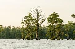 Árvores com musgo Imagem de Stock