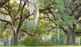 Árvores com musgo espanhol foto de stock royalty free