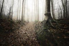 Árvores com raizes gigantes na floresta misteriosa com névoa Imagens de Stock