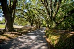 Árvores com suspensão do musgo espanhol Imagem de Stock