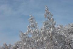 Árvores com tampões da neve Testes padrões do inverno Ar congelado Céu azul sob árvores Ramos com neve Hoarfrost nas árvores foto de stock royalty free