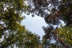 Árvores como visto da parte inferior Fotografia de Stock