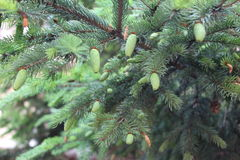 Árvores coníferas Foto de Stock