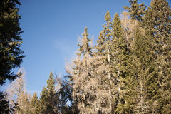 Árvores coníferas na floresta Foto de Stock Royalty Free