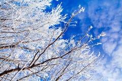 Árvores congeladas com o céu azul fresco do inverno Fotos de Stock Royalty Free