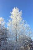 Árvores congeladas no dia frio na floresta nevado do inverno fotos de stock