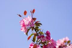 Árvores cor-de-rosa Foto de Stock Royalty Free