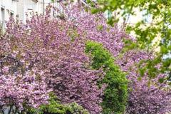 Árvores cor-de-rosa de florescência de sakura Imagem de Stock
