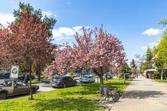 Árvores cor-de-rosa de florescência de sakura nas ruas de Uzhhorod, Ucrânia Fotografia de Stock Royalty Free