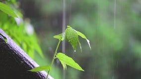 Árvores da árvore pequena do conceito da vida que cresce acima de uma árvore grande Em chover e na luz do sol video estoque