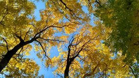 Árvores da acácia do outono Imagem de Stock
