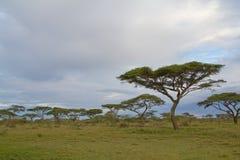 Árvores da acácia no savana de Serengeti Imagem de Stock Royalty Free