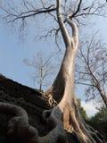 Árvores da altura e raizes grandes Fotos de Stock