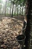 Árvores da borracha Fotos de Stock Royalty Free