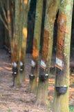 Árvores da borracha Imagens de Stock