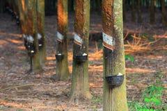 Árvores da borracha Foto de Stock Royalty Free
