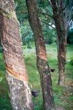 Árvores da borracha Imagem de Stock Royalty Free