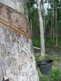Árvores da borracha 3 Foto de Stock