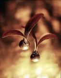 Árvores da borracha da semente Fotos de Stock Royalty Free