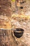 Árvores da borracha do látex na floresta Foto de Stock