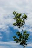 Árvores da borracha e céu azul Imagem de Stock Royalty Free