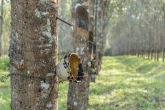 Árvores da borracha e manhã ensolarada Fotografia de Stock